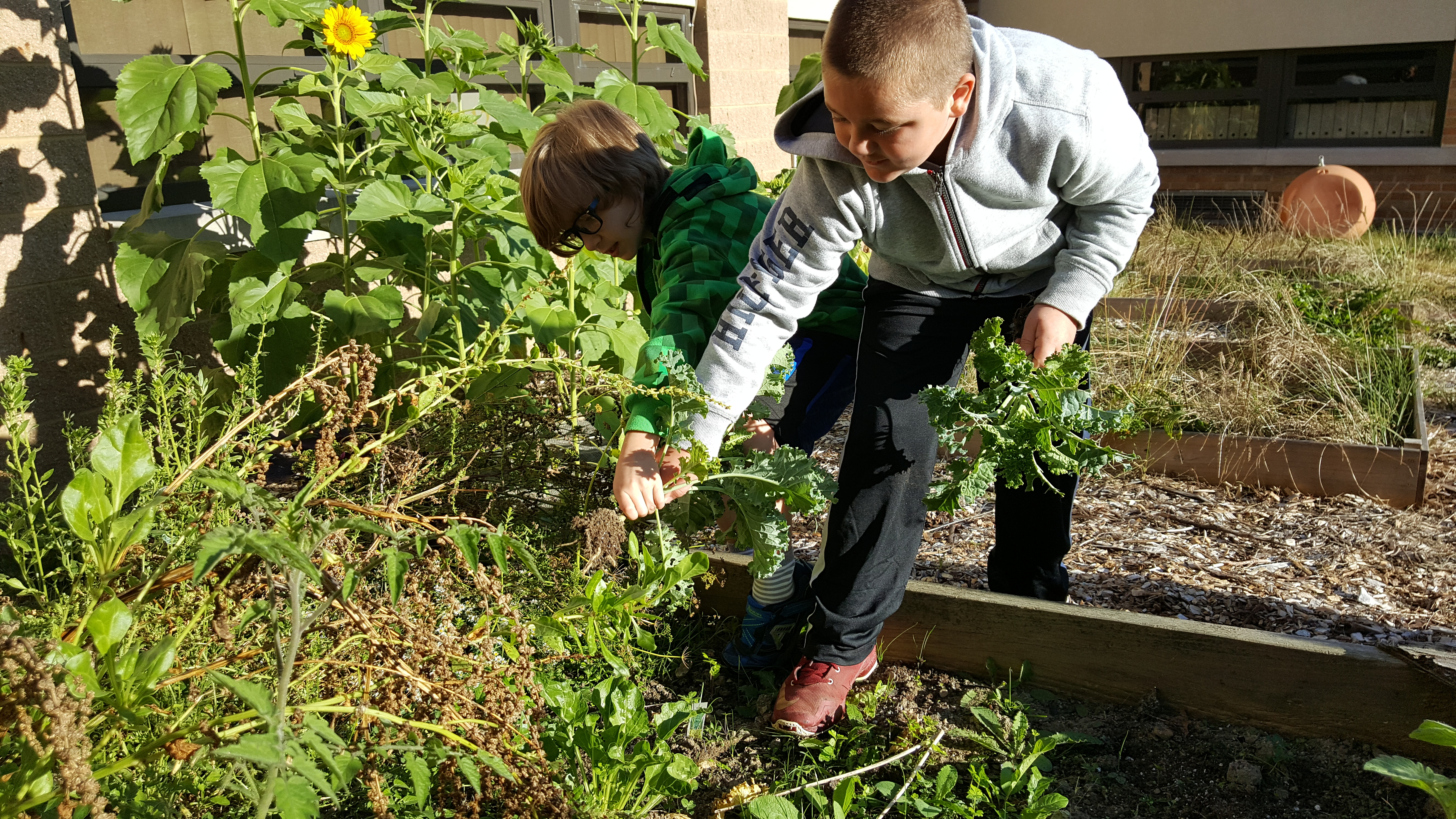 West Elementary Student picking Kale
